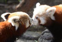 Pandarou!