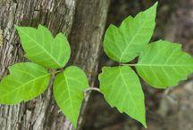 warnıng ivy forbidden   toxic
