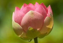 lovely lotus / an offering of beautiful petals