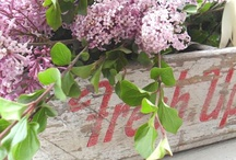 FLOWER : Syringa / Lilas - Lilacs