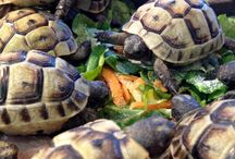 Tortoises & Turtles / Some of our favourite tortoise and turlte liks!  Get more information on tortoises here; http://www.reptilecentre.com/files_tortoises