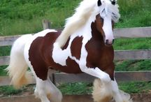 Clydesdales, Friesians, Gypsy Vanners and other Draft Horses
