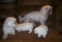 spoiled, maltese  / Photos of our fur-kids, Cotton and Candy.  A few of their pups.  They are so darling and fun, I can't help myself.