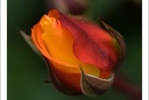 Flores  -rosas / by A . Calderon