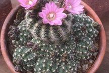 Gymnocalycium / Gymnocalycium , cactus, plant, succulent, bloom, giromagi