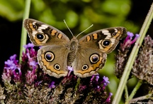 Butterfly Life List / Butterflies I've Seen and Identified / by Sandra Hazen