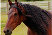 Our Mangalarga Marchadors / Mangalarga Marchadors are the National Horse of Brazil, known for their athleticism, their intelligence and their calm, kind nature.  We have Marchadors in Canada visit us at mangalargamarchador.com