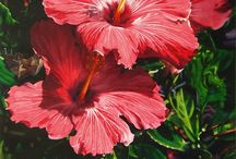 Hibiscus Paintings