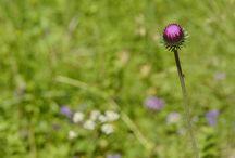 """Flora din Munții Bucegi / Din aprilie până în octombrie Bucegii sunt un rai de flori. Cu aceste cuvinte citate din Cartea Munţilor a Bucurei Dumbravă îşi începe profesorul şi alpinistul Alexandru Beldie lucrarea sa de referinţă """"Flora şi vegetaţia munţilor Bucegi"""" În care prezintă 1185 de specii de plante. Inspirat din cartea sa """"Flori din munţii noştri"""" citez câteva dintre florile mai reprezentative ale Bucegilor."""
