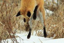 Foxy Fox / All things related to foxes, cos they're cool!!!