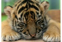 Тигр,хищники