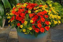 Amazing SunPatiens® – Impatiens for the Sun and Shade! / SunPatiens® – Impatiens for the Sun and Shade! Bred by Sakata Seed America