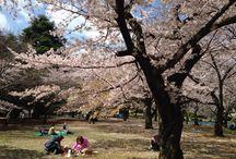 Enjoying Sakura season in Tokyo, living a never-ending #Travelife. www.travelifemagazine.com / April 2015 in Tokyo, living a Travelife. www.travelifemagazine.com