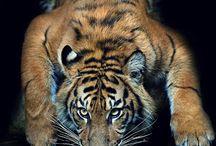 Tigers -Tigres