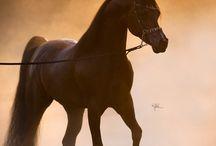 Arabian Horses!!!!