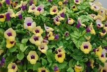 Shady Showstopper - Summer Wave / The most enjoyable Torenia that blooms early from spring through summer, and one of the earliest-flowering Torenia's around.They ask for so little other than wonderful large flowers which bloom profusely. Vigorous but maintaining compactness and easy to grow with no pinching requirement when in the garden. Super low-maintenance with continuous blooming all year round in moderate climate.   / by The Suntory Collection