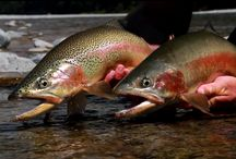 RAINBOW TROUT / Fly fishing for rainbow trout.  Rainbow trout on the fly.
