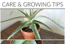 Aloe Vera (How To)