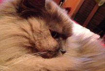 Maya! ❤️ / My third love: nobil cat! ☺️