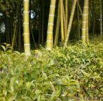Japan Tea Farms / by International Tea Farms Alliance