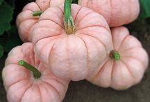 Pumpkins, Squash & Gourds / Ideas for the over 40+varieties we have the Pumpkin Patch!