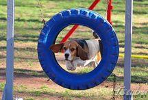 Beagle agility