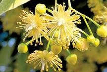 Herbs / Ljekovito bilje