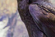 Crows, Raven