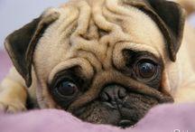 {Pug-a-licioius} / I love pugs.