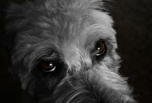 Wheaten terrier / by Anette Sundin
