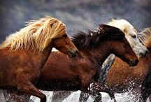 My Dream Trip with Pinterest and Airbnb / Along with my love of travel, I have an enduring love horses and nature. So my dream trip is to ride an Icelandic horse in Iceland. I want to witness the incredible landscape with a type of horse that's been there since the arrival of the Vikings. It's a place like no other on Earth. After riding, I'd seek out the Blue Lagoon to soothe my aching muscles, drink an Icelandic beer, listen to a bit of Bjork and hope for a display of the Aurora Borealis across the night sky... Perfect.