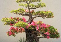 bonsai azslea