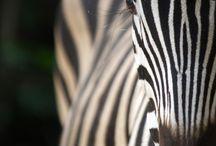 Zebra / by Terry Coffman