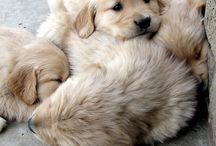 Bebek golden retriever