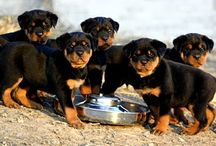 Rottweiler Puppies / Aren't they cute? buy . sell . Trade Rottweiler Puppies at no cost. The only Rottweiler Puppies Marketplace. http://www.Rottweiler-Puppies.org / by Mathieu Louis