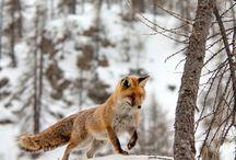 Lišky / Lišky