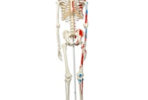 Human Skeleton Models / Models of the human skeleton and bone structures of various parts of the body are useful for researching human anatomy and understanding physiological concepts for medicine, educational research, and biological development.  This board includes several different human skeleton models that show bone structure of the entire skeleton, hands, feet, arms, legs, and other parts of the body.