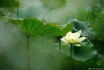 Lotus Flowers In West Lake / Lotus Flowers In West Lake
