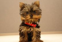 """The Yorkshire Terrier / Yorkshire Terriers, affectionately known as """"Yorkies,"""" offer big personalities in a small package. Though members of the Toy Group, they are terriers by nature and are brave, determined, investigative and energetic. They have long, luxurious blue and tan coats. This portable pooch is one of the most popular breeds according the AKC Registration Statistics."""