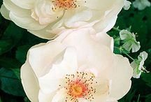 Розы, которые я хочу!