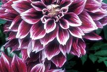 Name This Dahlia / These are dahlia pics that I came across while navigating Pinterest. I am trying to find the names of these unknown varieties so if anyone recognizes please contribute to their identification.