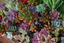 Succulente & cactacee