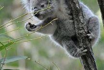 Lovely Koalas
