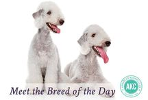Bedlington Terrier / Wait a minute...is that a dog or a lamb? Fear not, these graceful terriers in sheep's clothing are all dog. Bedlingtons are lithe, energetic Englishmen standing 15 to 17.5 inches. The distinctive coat, arched back, velvety tasseled ears, and fleecy, slender head are identifying features of this one-of-a-kind breed. As the curvy contours indicate, there's sighthound—Whippet, most likely—in their family tree. Bedlingtons roused to pursuit can gallop like the wind.