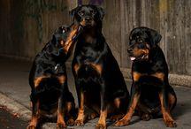 breed love ♥ rottweiler
