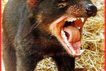 Tasmanian Devilz / tasmanian devils