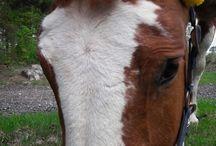 Horses Helena