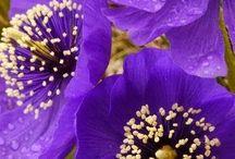 Μωβ Λουλούδια