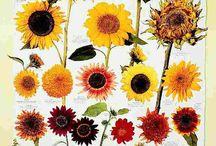 Flower Power - Sunflowers