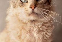 Hypoalergetic cats